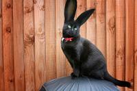 Cabbit